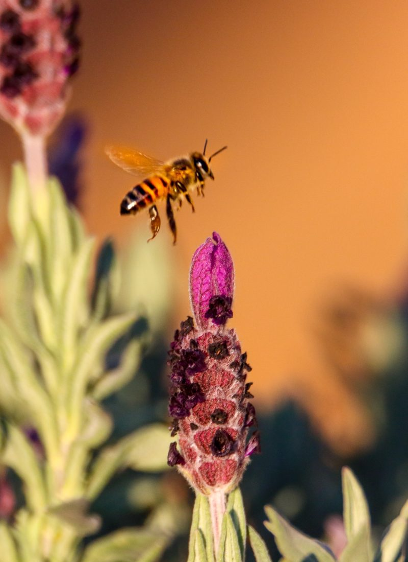 Ätherische Öle im Garten – so kannst du sie für deine Pflanzen nutzen und gegen störende Insekten